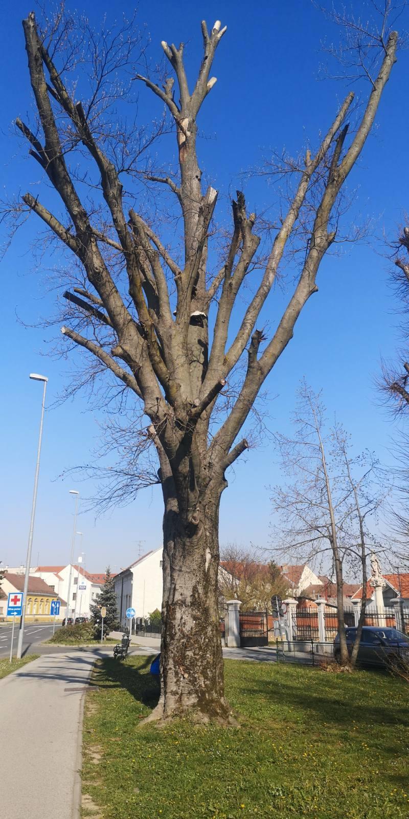 Zbog loše statike uzrokovane gljivom truležnicom zamijenit ćemo stablo crvenolisne bukve kod Doma zdravlja