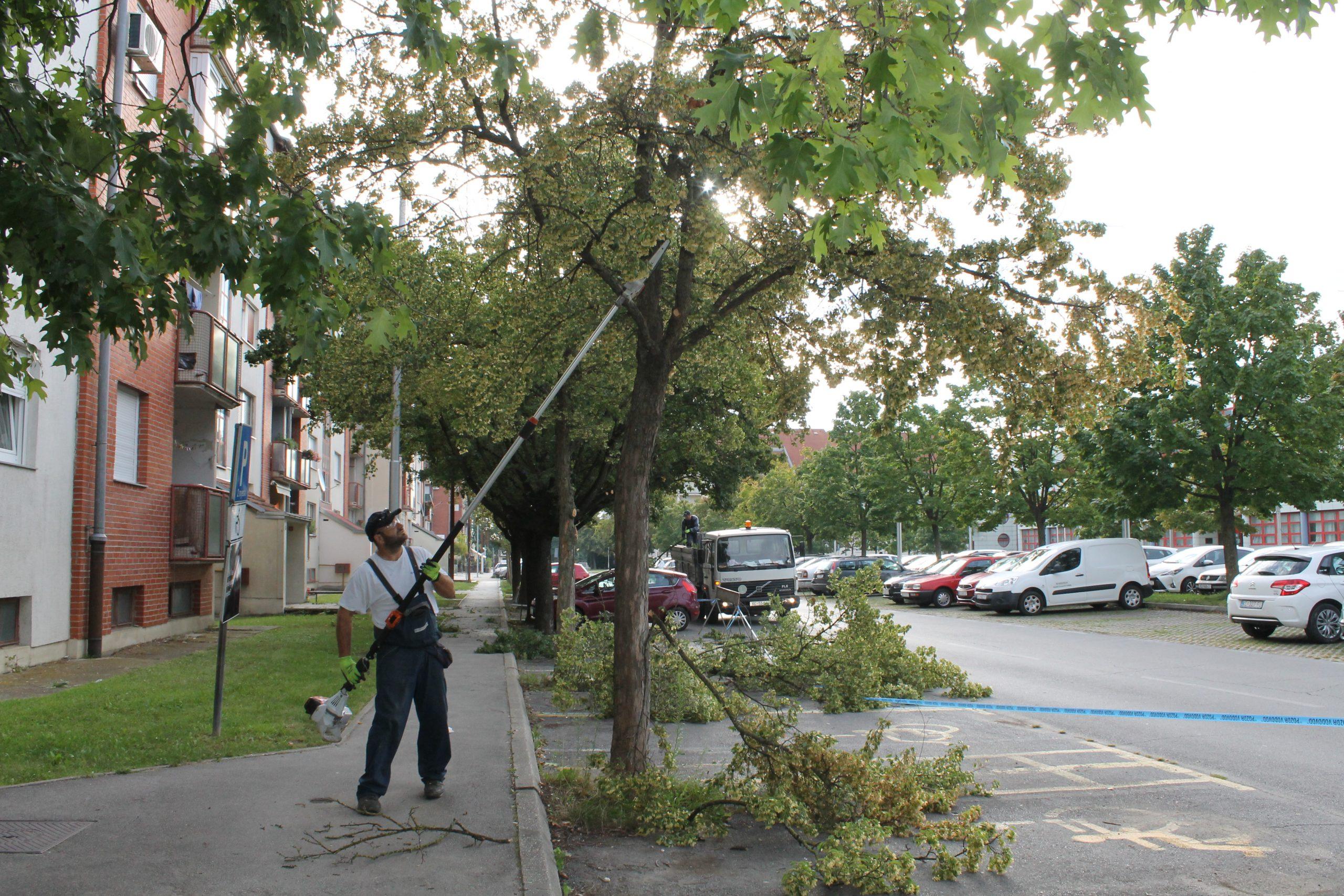 Orezane grane na stablima na Trgu Eugena Kumičića