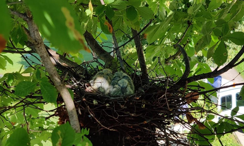 Orezano stablo na Sajmištu, ali i sačuvano gnijezdo s mladim golubovima