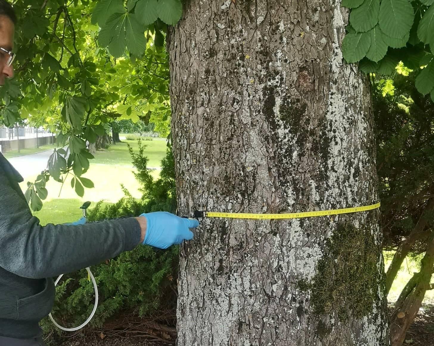 Stabla kestena u gradskom parku prvi u Hrvatskoj liječimo endoterapijom